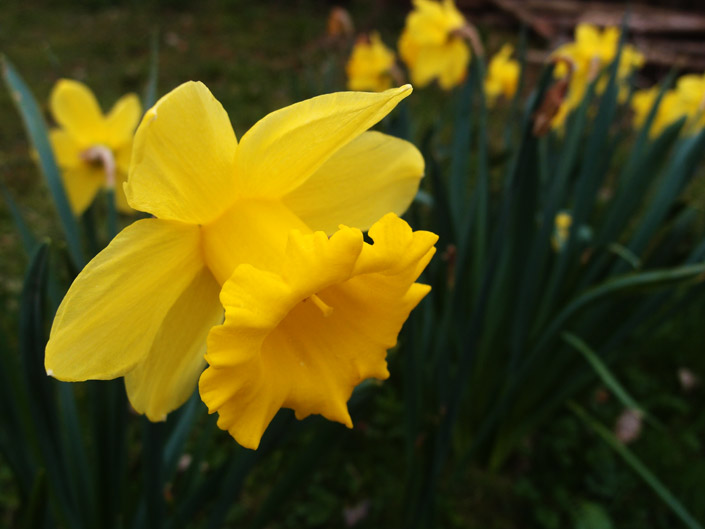 Free Daffodil Pictures 1