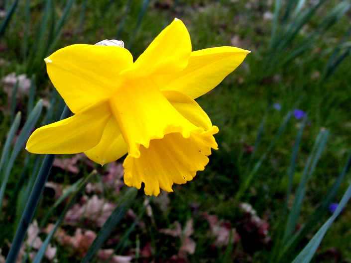 Free Daffodil Pictures 2