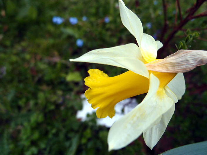 Free Daffodil Pictures 3