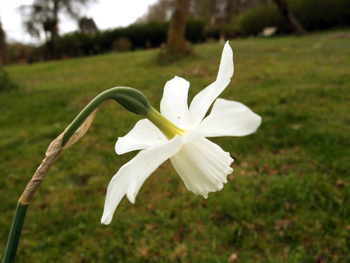 Free Daffodil Pictures 4